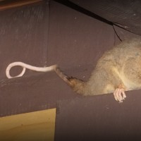 Notre premier opossum!
