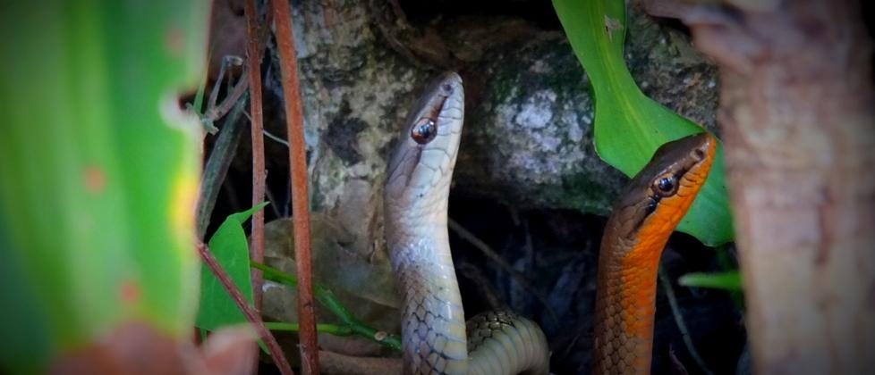 Danse nuptiale entre serpents!